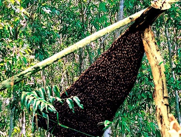 Tổ ong mật tai rừng u minh